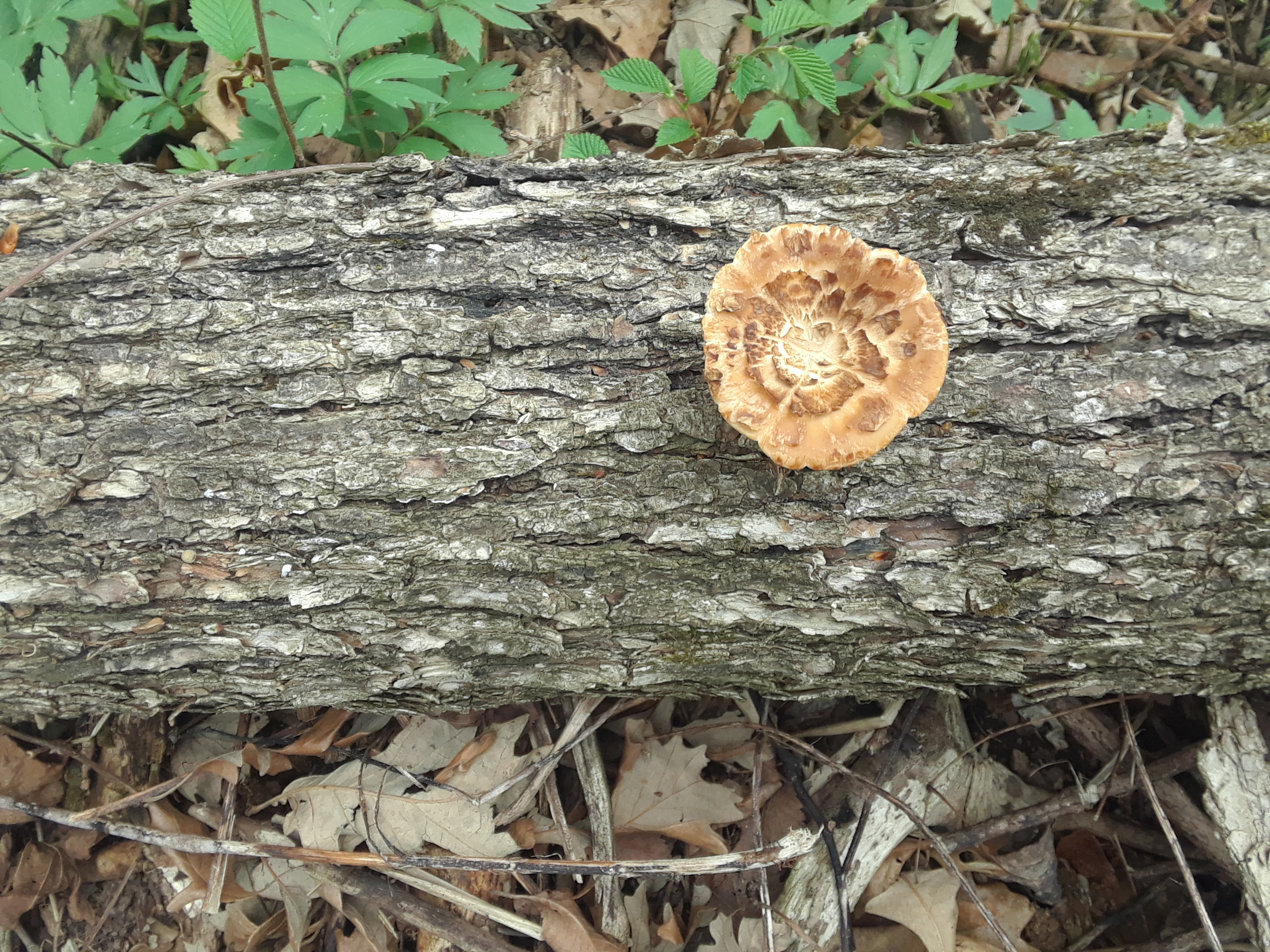 20180514_094314-jpg.43116_Dryad's Saddle mushrooms_Wilderness Survival_Squat the Planet_7:04 PM
