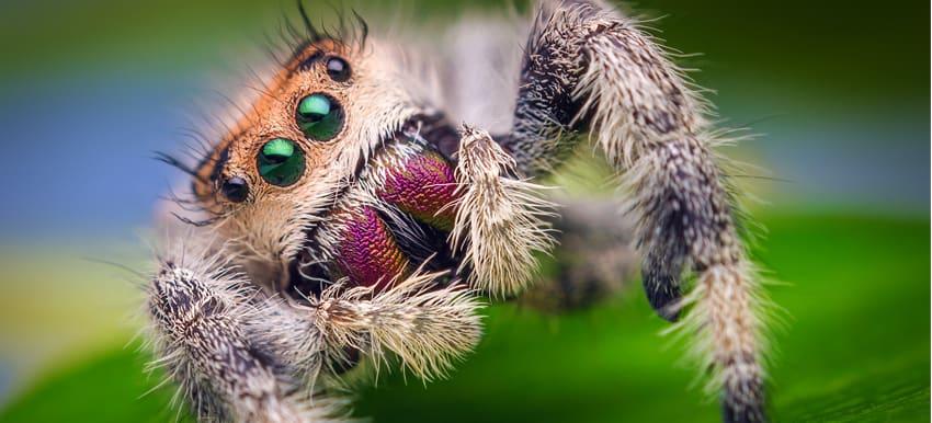 Female_Jumping_Spider_-_Phidippus_regius_-_Florida.jpg