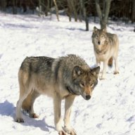 Nomadic Wolf