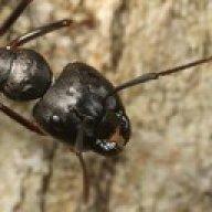 blue ant